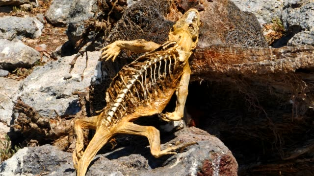 the dead galapagos land iguana and the skeleton in galapagos islands - galapagos land iguana stock videos & royalty-free footage