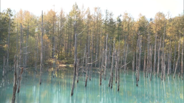 "The dead sliver birches ""Betula pendula"" poking out of the water of the Shirogane Blue Pond"