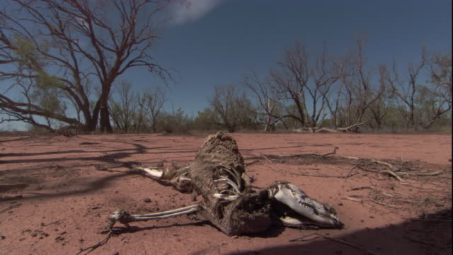 the decayed carcass of a red kangaroo lies on the parched desert floor, new south wales. available in hd. - dead animal stock videos & royalty-free footage