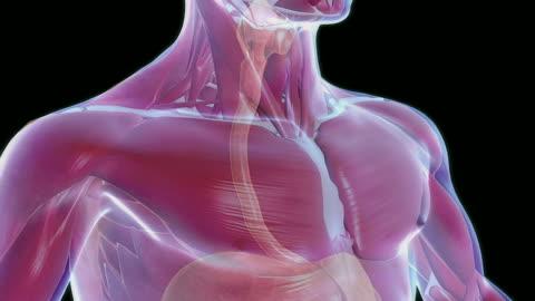 the digestive system - harnapparat stock-videos und b-roll-filmmaterial