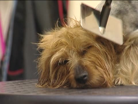 vídeos y material grabado en eventos de stock de perro en el salón de belleza. - terrier