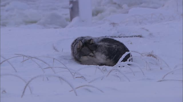 The dog crouching in the Arctic