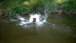 The dog jumps to the water. Swimming in slow motion.