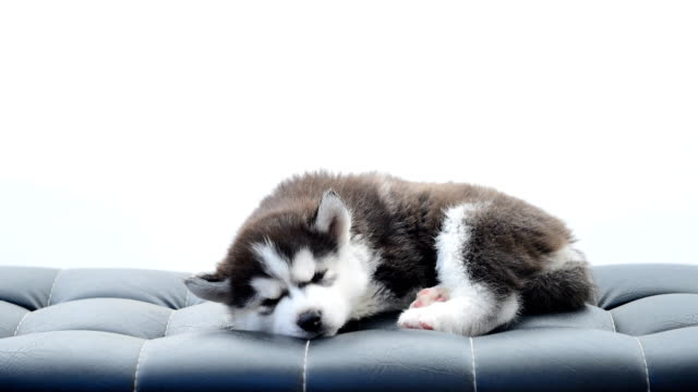 the dog siberian husky - breeder stock videos and b-roll footage