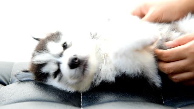 Der Siberian Husky Hund