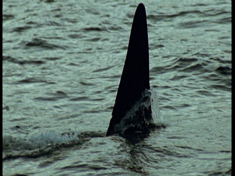 the dorsal fin of a killer whale submerges under choppy water near norway. - rückenflosse stock-videos und b-roll-filmmaterial