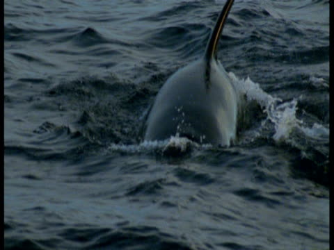 the dorsal fin of a killer whale surfaces in the atlantic ocean. - dorsal fin stock videos and b-roll footage