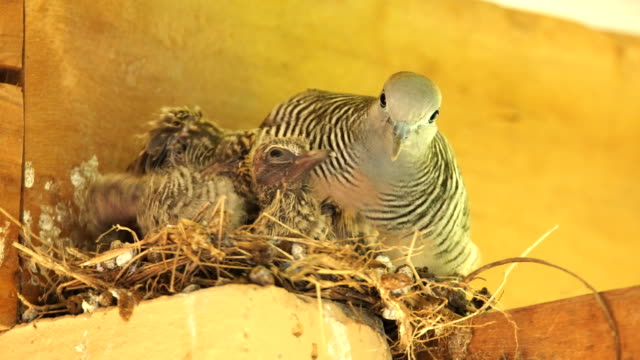 the dove of the nest - young bird stock videos & royalty-free footage