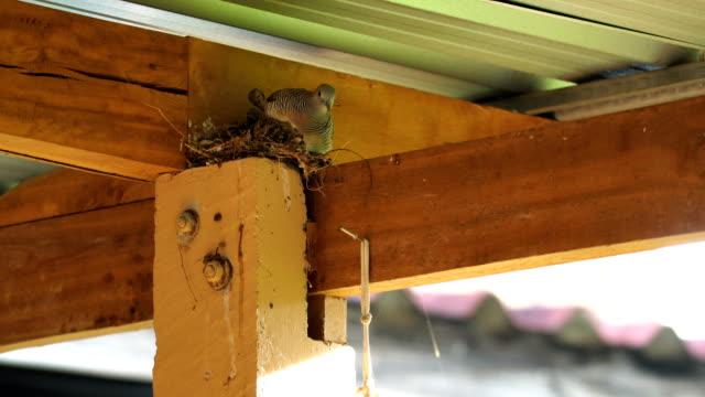 la colomba del nido - nido di animale video stock e b–roll