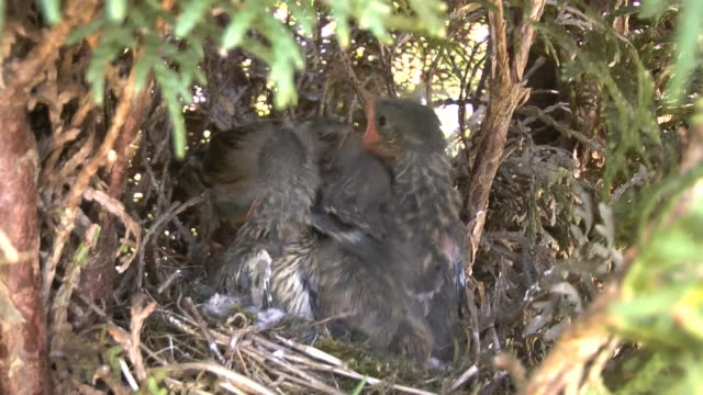 the dunnock, prunella modularis - small group of animals stock videos & royalty-free footage