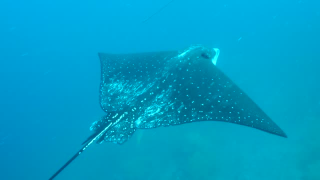 the eagle ray swimming into the sea in galapagos islands - eagle ray stock videos and b-roll footage