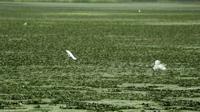 vidéos et rushes de the egret hunting for food at upo marsh (an important wetland as a habitat for waterfowl, registered as ramsar site) in changnyeong, gyeongsangnam-do province - plein