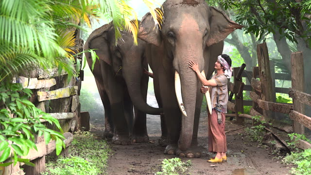 the elephant caretaker is walking the elephant in a rural village road it represents the way of life of elephants, love and bond of human beings with elephants. - wildlife stock videos & royalty-free footage