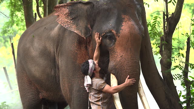 the elephant caretaker touches the elephants with love. in a rural village road it represents the way of life of elephants, love and bond of human beings with elephants. - 4k resolution stock videos & royalty-free footage