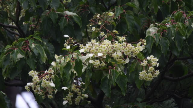 vidéos et rushes de the emmenopterys henryi tree in roath park, cardiff, which has flowered for the first time in 100 years. the chinese tree has blossomed spectacularly... - capitule