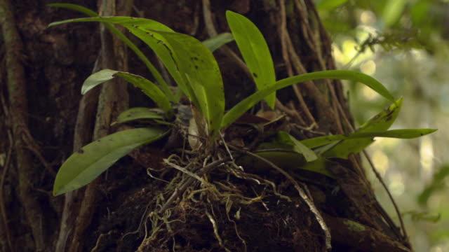 vídeos y material grabado en eventos de stock de the endangered mule ear orchid is seen after it was reintroduced to an area of the everglades national park after it had disappeared due to years of... - especie en peligro de extinción