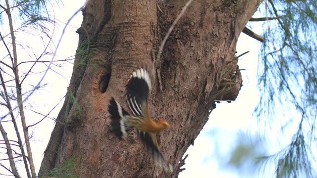 the eurasian hoopoe or common hoopoe (upupa epops) woodpecker bird is feeding baby birds. - woodpecker stock videos & royalty-free footage