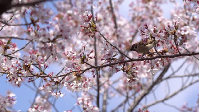 the eurasian tree sparrow (passer montanus) enjoying cherry blossom - 4k - hamamatsu stock videos and b-roll footage