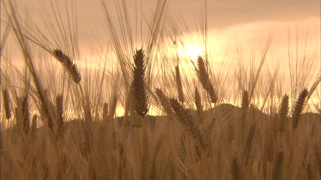 the evening sun and barley - barley stock videos and b-roll footage