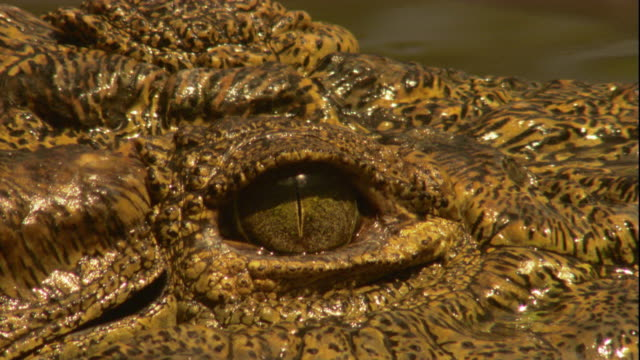 The eye of a Nile crocodile stares. Available in HD.