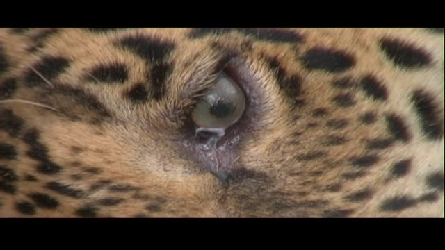 the eye of a tranquilized jaguar moves about in its socket. - tranquillising stock videos & royalty-free footage