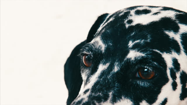 the eyes of a cute dalmatian dog pet, white background - dalmatian dog stock videos and b-roll footage