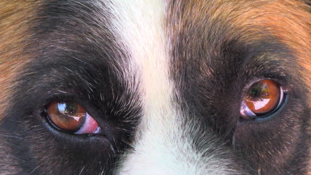 The Eyes of a Dog, close up