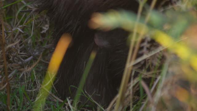 the face of a juvenile common wombat (vombatus ursinus) in its mothers pouch - påse bildbanksvideor och videomaterial från bakom kulisserna