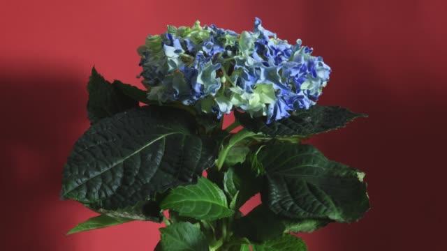 vídeos y material grabado en eventos de stock de se restaura la flor desvanecida - hortensia