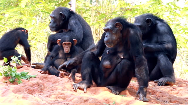 The family of a chimpanzee