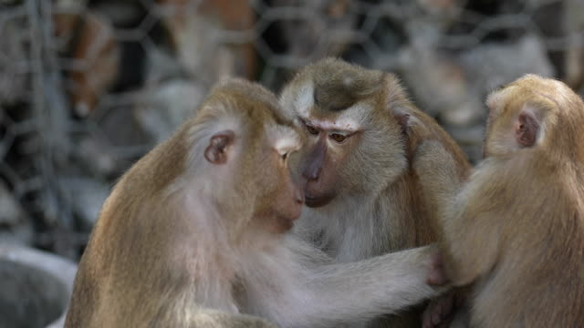 the family of monkey lives in a natural forest of thailand. - macaque stock videos & royalty-free footage