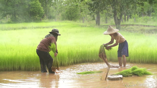 The farmer carrying the rice seedlings on his shoulder in the rice paddy
