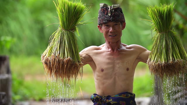 hd: the farmer carrying the rice seedlings on his shoulder in the rice paddy - rice stock videos and b-roll footage