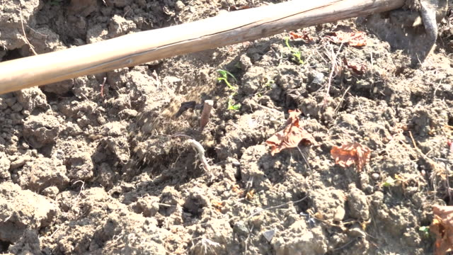the farmer is hoeing for red sweet potato yam - red potato stock videos & royalty-free footage