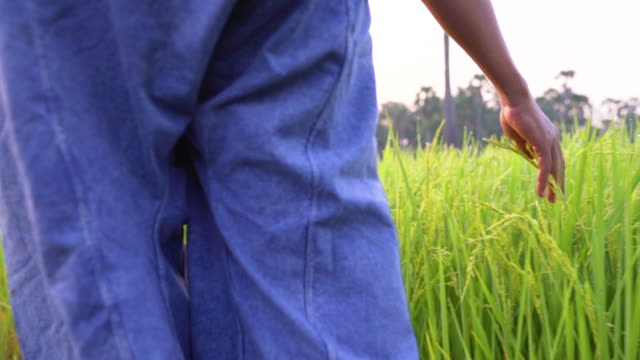 The farmer touch the rice plant in the field.