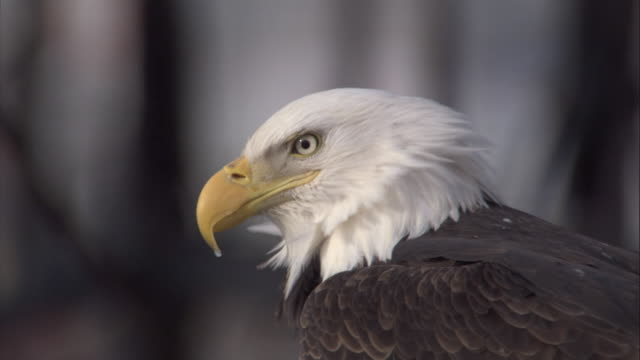 the feathers of american bald eagle rustle in the wind as it gazes around. available in hd. - bald eagle stock videos & royalty-free footage
