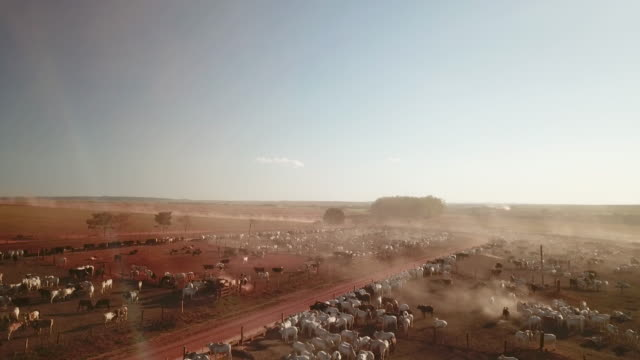 the feedlot is in the southern part of rondonia near the town of chupinguaia and has capacity for more than 40,000 cows and bulls. they fatten cattle... - cattle stock videos & royalty-free footage