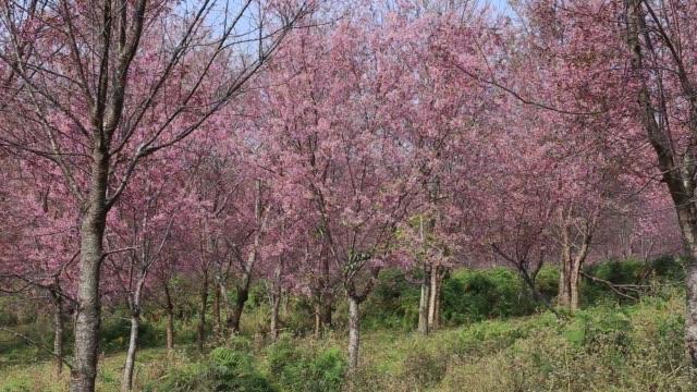 the field of blooming pink sakura , thailand - baumgruppe stock-videos und b-roll-filmmaterial