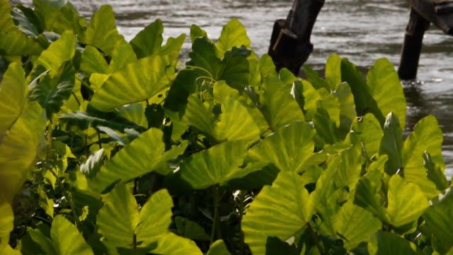 vídeos y material grabado en eventos de stock de el campo de plantas taro en crecimiento. - oreja animal