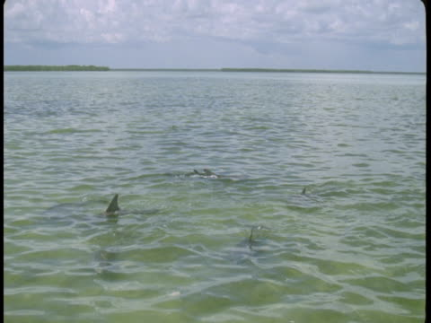 the fins of dolphins break the surface as they swim through shallow waters. - shallow stock videos & royalty-free footage