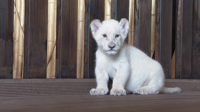 vidéos et rushes de the first white lion cub born in turkey was showed off at an event held at the aslan park in istanbul's tuzla district on 10 august world lion day.... - mignon