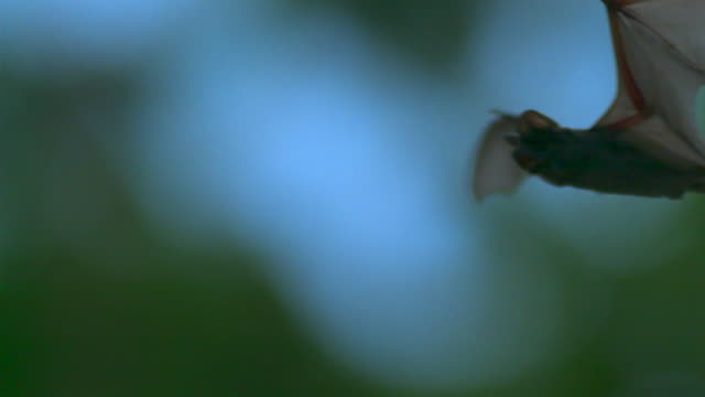 the flock of bats flying in the air in thailand - pipistrello video stock e b–roll