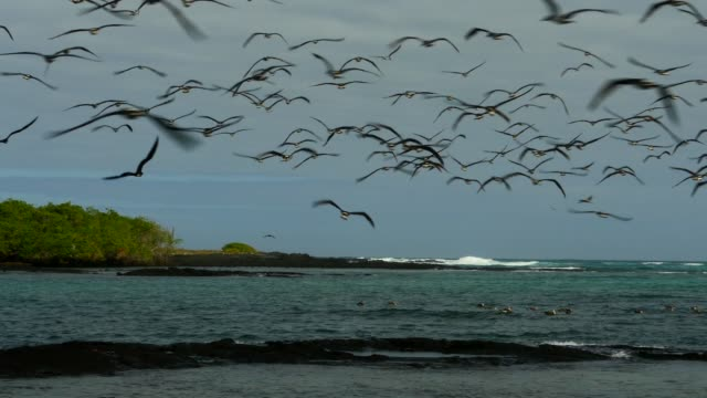 The flock of Blue-footed Booby diving to the water in Galapagos Islands