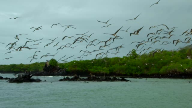 the flock of blue-footed booby diving to the water in galapagos islands - galapagos islands stock videos & royalty-free footage
