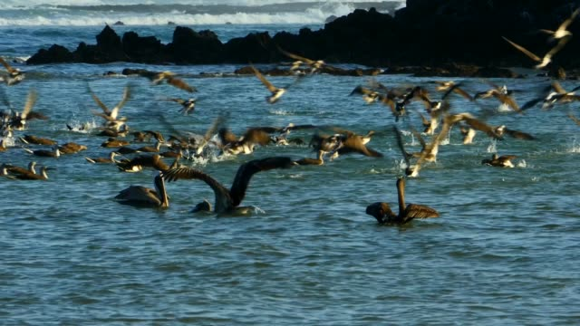 The flock of Blue-footed Booby on the sea in Galapagos Islands