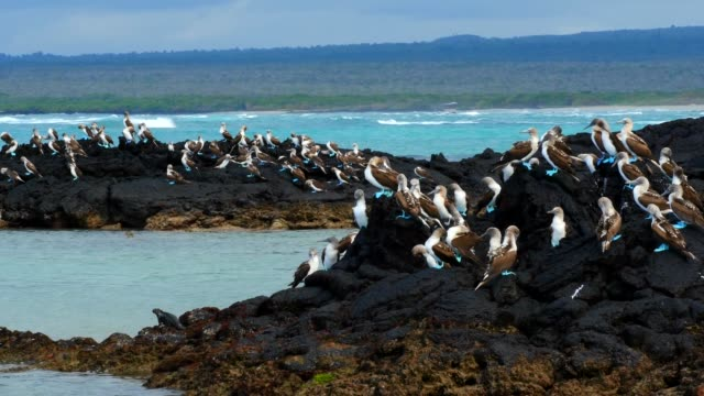 The flock of Blue-footed Booby standing on the rock in Galapagos Islands