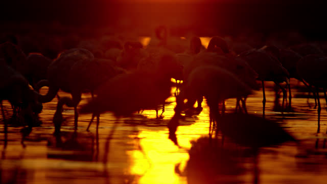 the flock of flamingo birds wading while sunlight glowing on water field, a lapwing bird standing in the mid water - nature reserve stock videos & royalty-free footage