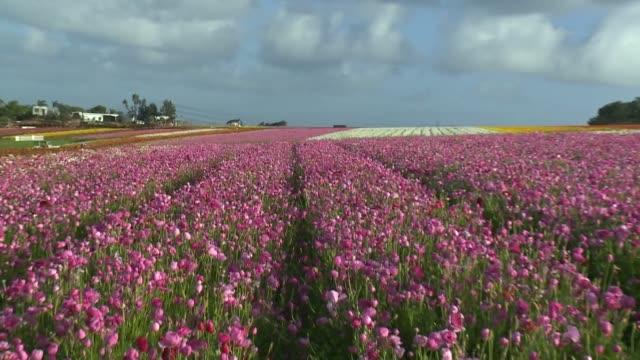 kswb the flower fields at carlsbad ranch - carlsbad kalifornien stock-videos und b-roll-filmmaterial