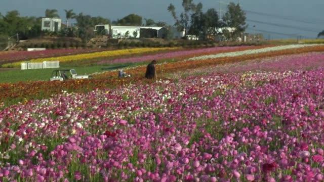 kswb the flower fields at carlsbad ranch - カールズバッド点の映像素材/bロール