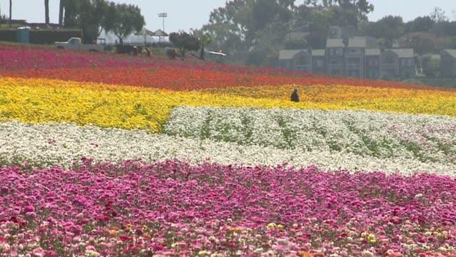 stockvideo's en b-roll-footage met kswb the flower fields at carlsbad ranch - carlsbad californië